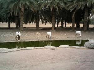 Charjah  ferme